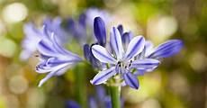 schmucklilien im topf tipps zum umtopfen dbia