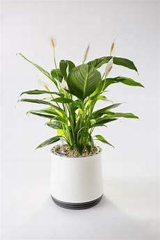 zimmerpflanzen luftreiniger airy macht aus zimmerpflanzen hocheffektive luftreiniger