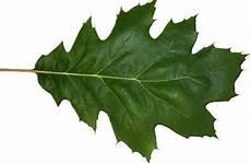 Oak Leaf Id Chart Know Your Trees Oaks The Georgetown Metropolitan