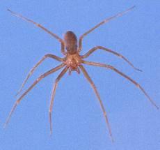 Light Brown Spider Florida Brown Recluse Spider Loxosceles Reclusa Gertsch And Mulaik