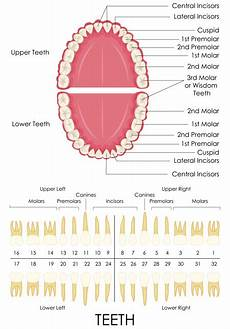 tooth numbering why do dentists say numbers