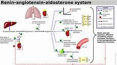 Adh Vs Aldosterone Venn Diagram Water Balance Adh Angiotensin Aldosterone
