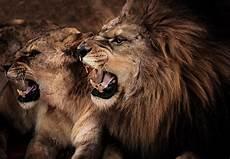 Lion And Lioness Designs Lion Roar Wallpapers Wallpaper Cave