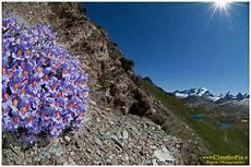 immagini piã di fiori fiori di montagna flowers altitude flores de altitud