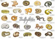 Ball Python Chart Ball Pythons They Re Pretty Darned Cool Bioventures