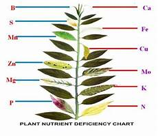 Nutrient Deficiency Chart Cannabis Leaf Illustrations And Charts To Help Diagnose Plant