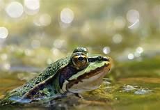 frosch im teich forum f 252 r naturfotografen