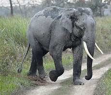 Malvorlage Indischer Elefant Asiatischer Elefant