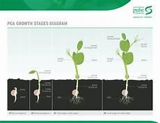 Pea Plant Growth Chart Description And Adaptation Saskatchewan Pulse Growers