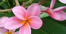 Flower Wallpaper Pictures by Flower Picture Plumeria Flower Desktop Wallpaper