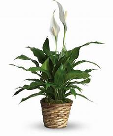 Low Light Stem Plants Low Light Indoor Plants You Can Decorate With