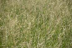 Fescue Hay Cold Weather Fescue Blues Hay And Forage Magazine