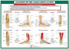 Foot Anatomy Chart Anatomy Of The Foot And Ankle Health And Fitness Wall