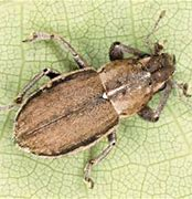 "Image result for ""whitefringed-beetle"""