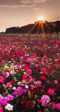 flower meadow iphone wallpaper 17 best images about iphone 5 wallpapers on