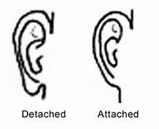 Pedigree Chart For Free Or Attached Earlobes Earlobes
