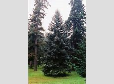 Thompsen Blue Spruce (Picea pungens 'Thompsen Blue') in