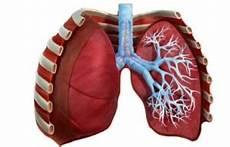 organi gabbia toracica polmone emspedia