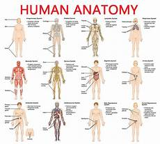 Full Body Anatomy Chart Full Picture Real Human Body Full Human Body Diagram