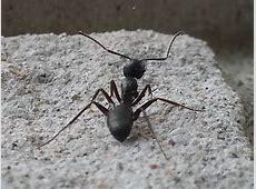 Kitchen Ants   Truly Nolen Canada