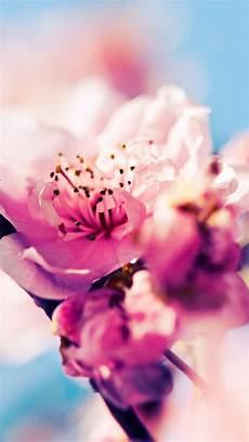 iphone wallpaper hd cherry blossom cherry blossom iphone hd wallpaper pixelstalk net