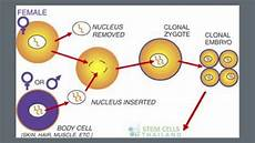 Somatic Cell Nuclear Transfer Somatic Cell Nuclear Transfer Presentation Youtube