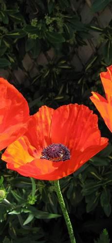 poppy flower wallpaper iphone wallpaper orange poppies flowers stem 2880x1800