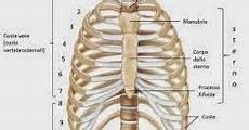 organi gabbia toracica scopriamo il corpo umano torace analizziamolo