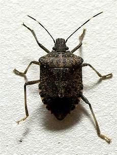 Brown Marmorated Stink Bug File Brown Marmorated Stink Bug Jpg Wikipedia