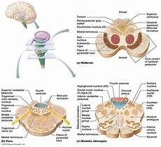 Cerebellum Anatomy 1301 Best Images About Neuroanatomy On Pinterest Head