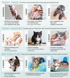 Baby Kitten Age Chart Age Guide Kitten Adoption Kitten Growth Chart Kittens