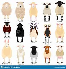 Sheep Chart With Breeds Name Stock Vector Illustration