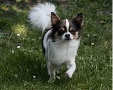 lille hund hundeejer efterlyses lille hund fundet ved m 248 lledammen
