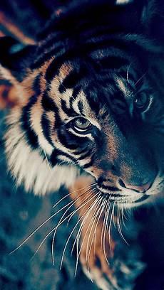 tiger wallpaper iphone 7 fond decran iphone 7 hd wallpaper90 wallpapers animal