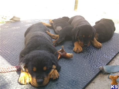 rottweiler pups for sale with docked tails exceptional rottweiler pups tails legally docked 42161