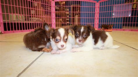chihuahua puppies for sale in ga chihuahua puppies for sale in atlanta at puppies for sale local breeders