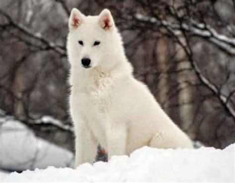 imagenes lobo blanco fotos de lobos blanco imagui