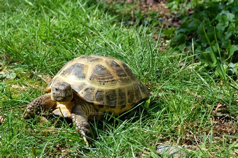 russian tortoises tortaddiction pip pip pip first fall russian tortoise