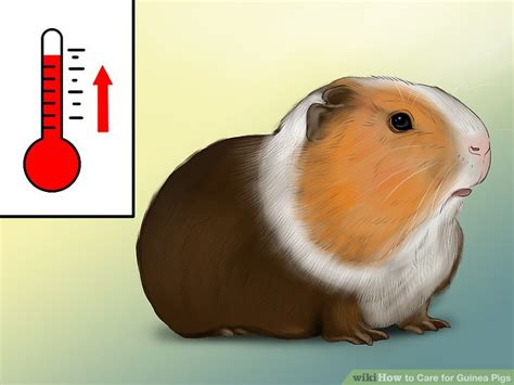 Room Temperature For Guinea Pigs by How To Care For Guinea Pigs With Pictures