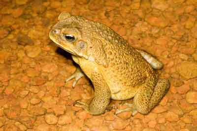 killing cane toads humanely