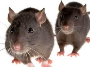imagenes de ratas halloween las ratas sienten empat 237 a y son solidarias