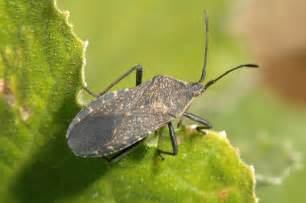 Garden Flies Pest - squash bugs in home gardens insects university of minnesota extension