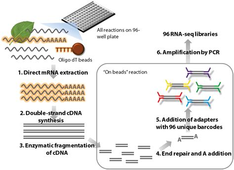 illumina rna seq frontiers a high throughput method for illumina rna seq