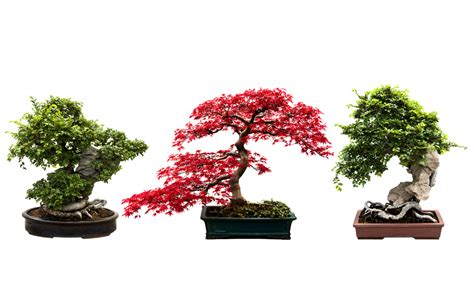bonsai the beginner s guide to cultivate grow shape and show your bonsai includes history styles of bonsai types of bonsai trees trimming wiring repotting and watering books how do you grow bonsai wonderopolis