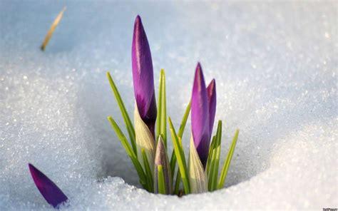 imagenes flores invierno descargar la imagen en tel 233 fono plantas invierno flores