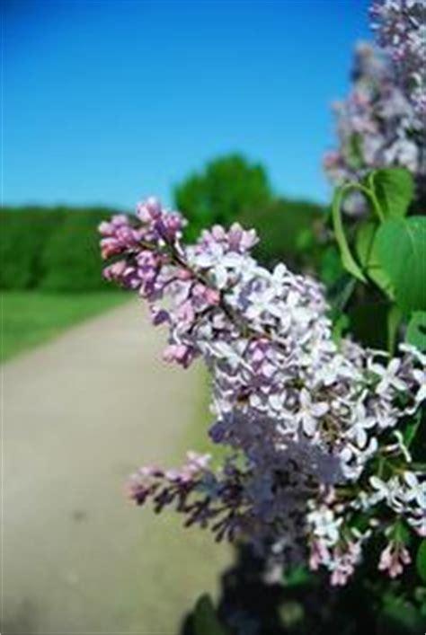 fiore lilla molto profumato la maggior parte dei fiori profumati russelmobley