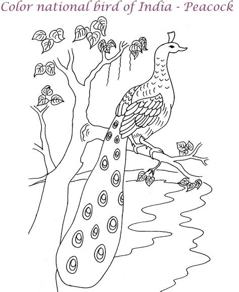 indian peacock coloring page peacock coloring pages for kids printable peacock