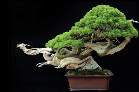 bonsai tanaman hias indoor asik aja