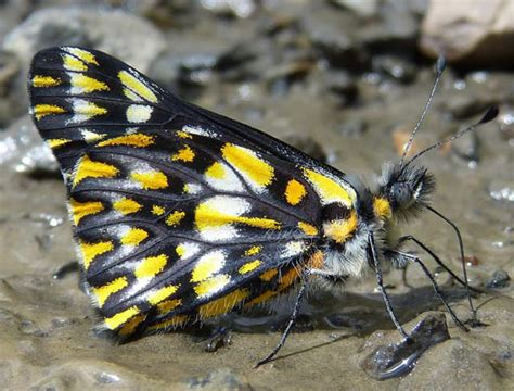 2019 White Kemben Butterfly butterfly tour to peru manu road and machu picchu