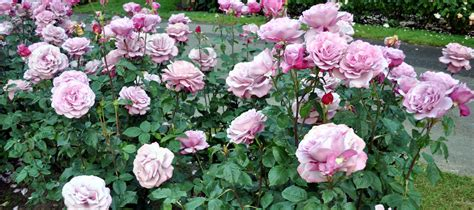 rose can rose growing care how to articles fertilize roses